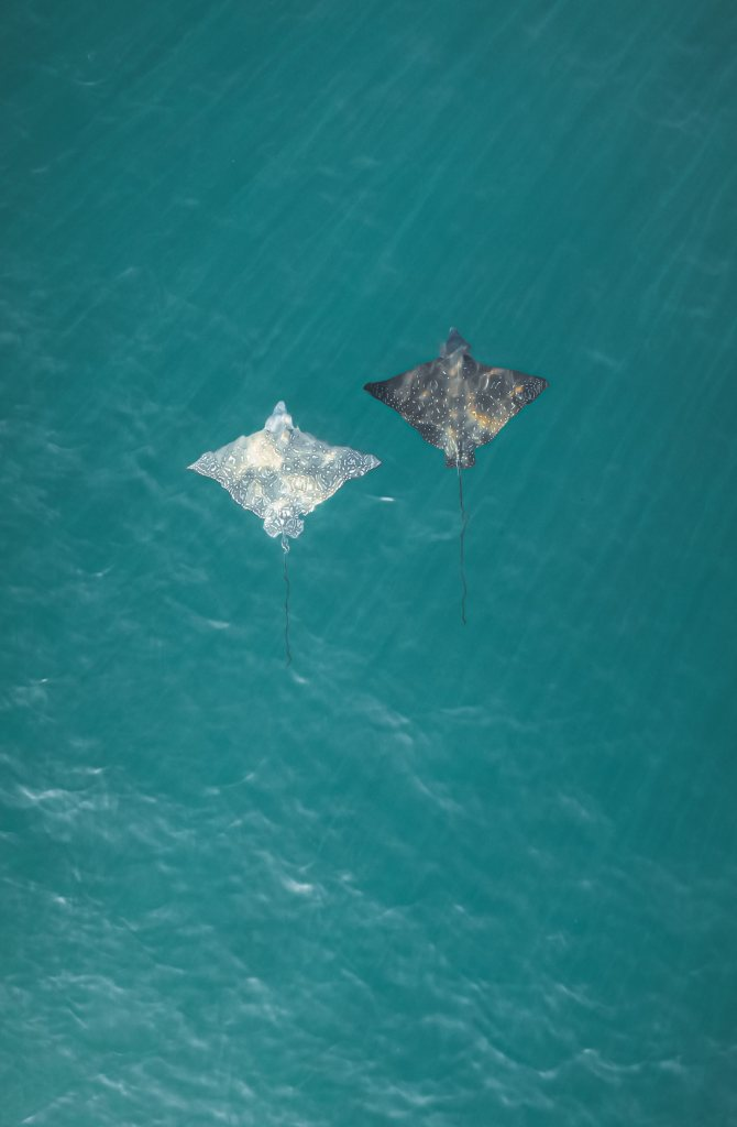 Aerial view of two rays in the ocean
