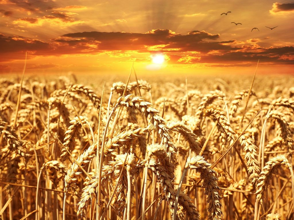A beautiful sunset over a wheat field -- from pixabay.com