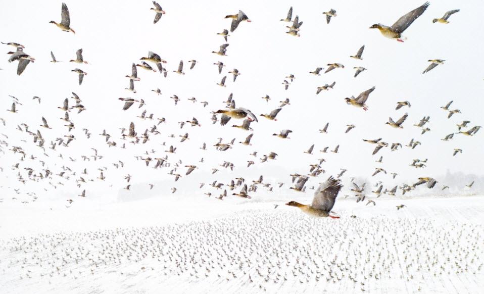 Pink-Footed Geese Meeting the Winter by Terje Kolaas.